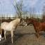 Het welzijn van paarden gaat voor
