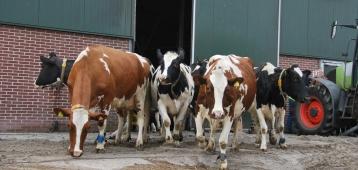 Za. 28-4: De koeien gaan weer de wei in bij Kaasboerderij Schep